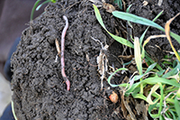Soil with earthworms