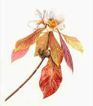 Bartram botanical painting