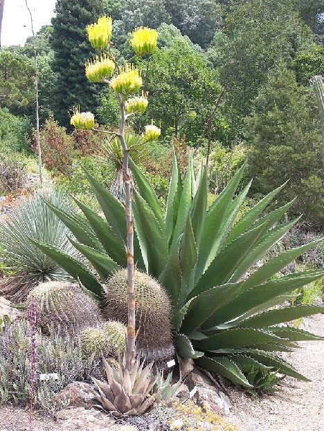 Cactus and Agave