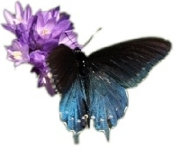 Butterfly and purple flowers