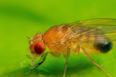 Drosophila - the Superfly!