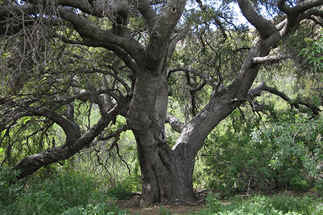 Californian oak woodland